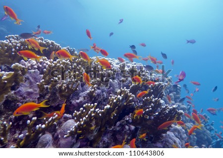 coral reef with exotic fishes on the bottom red sea