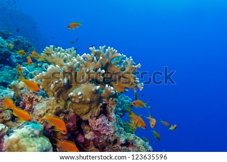 coral reef with fire coral and exotic fishes anthias - stock photo