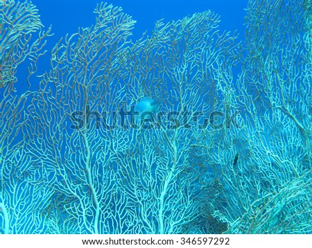 Coral reef with gorgonian on the bottom of tropical sea on blue water background  - stock photo