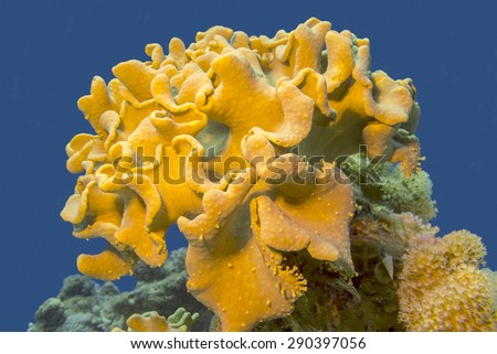 coral reef with great yellow mushroom leather coral at the bottom of tropical sea - stock photo