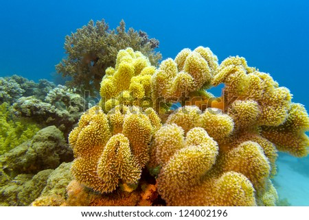 coral reef with great yellow soft coral at the bottom of red sea - stock photo