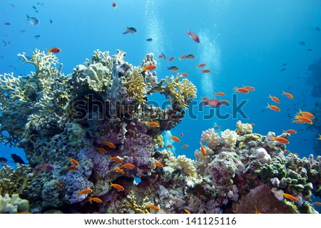 coral reef with hard corals and exotic fishes anthias at the bottom of tropical sea on blue water background - stock photo