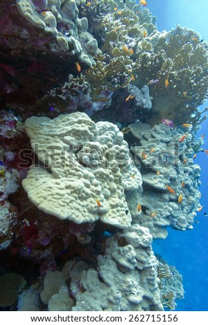 coral reef with hard corals at the bottom of tropical sea - underwater - stock photo