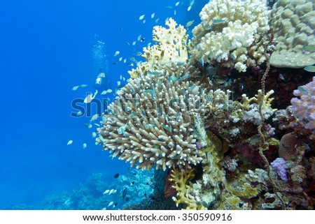 coral reef with hard corals ,fishes chromis caerulea and diver  at the bottom of tropical sea, underwater - stock photo