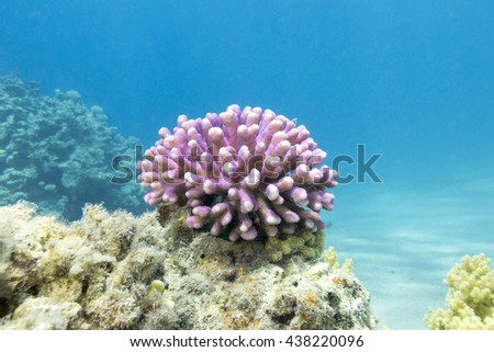 coral reef with pink finger coral in tropical sea, underwater. - stock photo