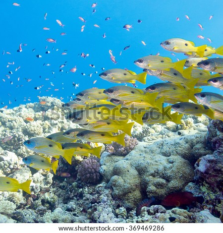 coral reef with shoal of goatfishes at the bottom of tropical sea - stock photo