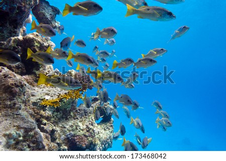 coral reef with shoal of goatfishes at the bottom of tropical sea on blue water background