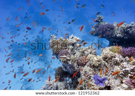 coral reef with soft and hard corals on the bottom of red sea  in egypt - stock photo