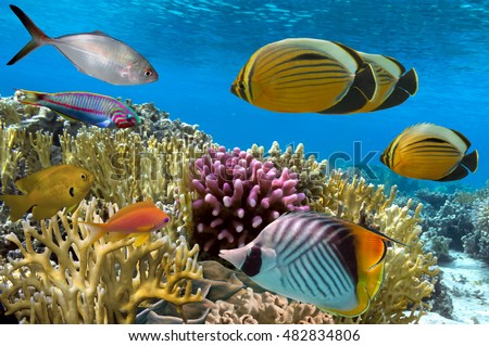Coral reef with soft and hard corals with exotic fishes. Red Sea