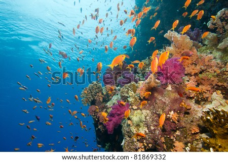 Coral reef with sponges and anthias