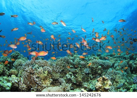 Coral Reef with Tropical Fish in Red Sea - stock photo
