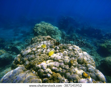 Coral reef with tropical fishes, coral fishes, reef fishes, coral reef life, sea life, sea animals, summer holiday activity, snorkeling in coral reef, ecosystem of coral reef, clean sea with fishes - stock photo