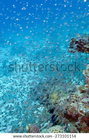 coral reef with yellow coral turbinaria mesenterina at the bottom of tropical sea, underwater - stock photo
