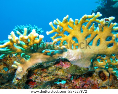 coral reef with yellow fire coral in tropical sea, underwater.