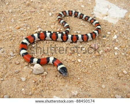 Coral Snake - a mimic, Lampropeltis triangulum gentilis - stock photo