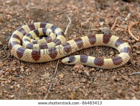 Coral Snake mimic, the Mojave Shovel-nosed Snake, Chionactis occipitalis occipitalis - stock photo