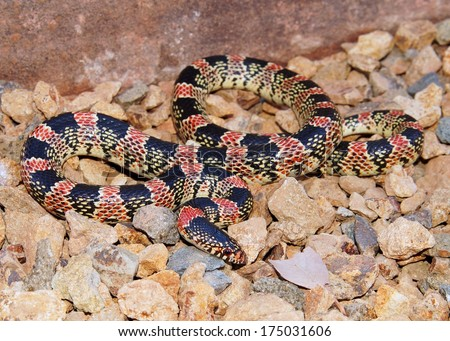 Coral Snake mimic, Western Longnose Snake, Rhinocheilus lecontei, a brightly colored red, black and white snake  - stock photo