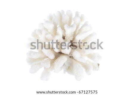 Coral studio shot isolated on white