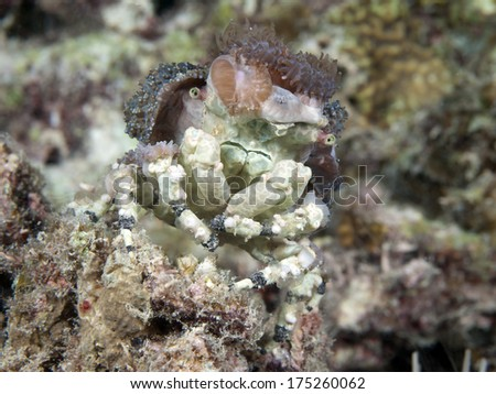 Corallimorph decorator crab in Bohol sea, Phlippines Islands - stock photo
