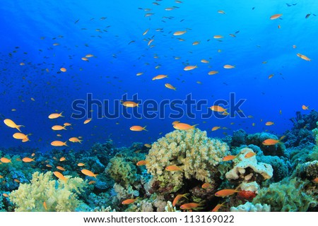 Corals and Anthias Fish on Red Sea reef, Egypt