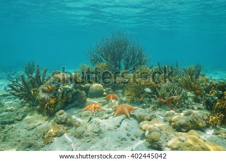 Corals and Cushion starfishes underwater on a shallow reef in the Caribbean sea - stock photo
