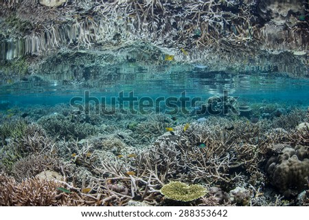 Corals grow in calm, shallow water in Raja Ampat, Indonesia. This remote, tropical area, off the west coast of New Guinea, is home to more marine species than anywhere else on Earth. - stock photo