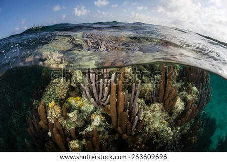 Corals grow in shallow water near Turneffe Atoll off the coast of Belize. This beautiful area is  popular among scuba divers, snorkelers, and recreational fishermen. - stock photo