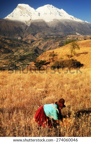 CORDILIERA NEGRA, PERU - AUGUST 23: Peruvian peasant woman harvesting the wheat, Peru, South America, August 23, 2012