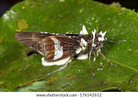 Cordyceps fungus infecting a moth in the rainforest understory, Ecuador - stock photo