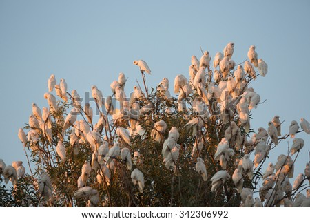 Corellas at Cadelga Creek