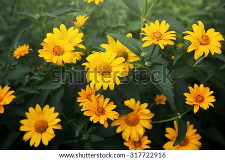 coreopsis flowers blooming in a garden - stock photo