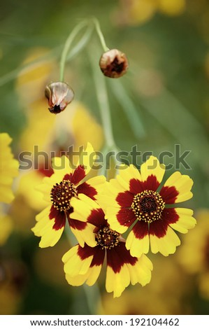 Coreopsis grand. Heliot - yellow and red flower - stock photo