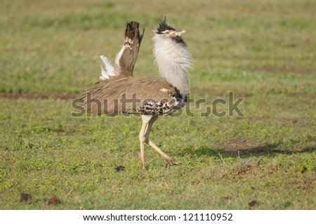 Corey Bustard strutting in Ngorongoro Crater in Tanzania - stock photo