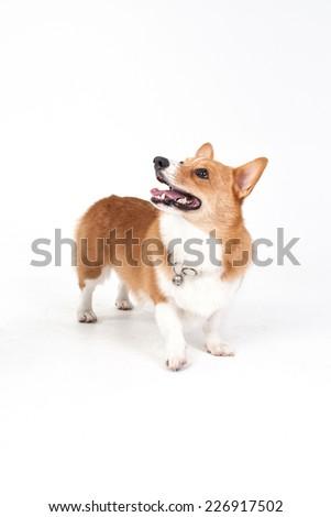 Corgi dog - stock photo