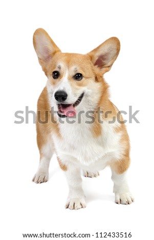 Corgi dog in studio on the white background - stock photo