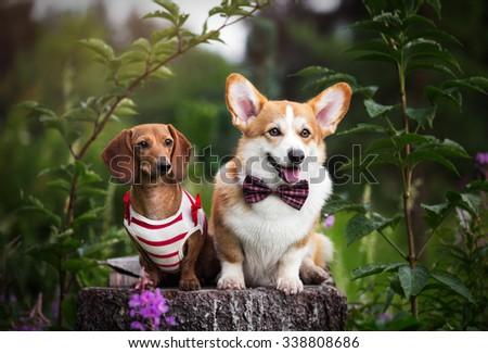 Corgi pembroke dog with Dachshund dog - stock photo