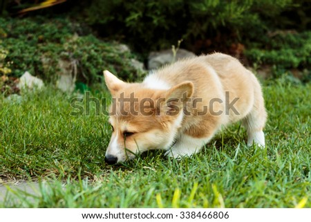 Corgi puppy sneaking in the grass and sniffing - stock photo