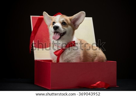 Corgi puppy with a red bow sitting in a gift box looking happy horizontal - stock photo