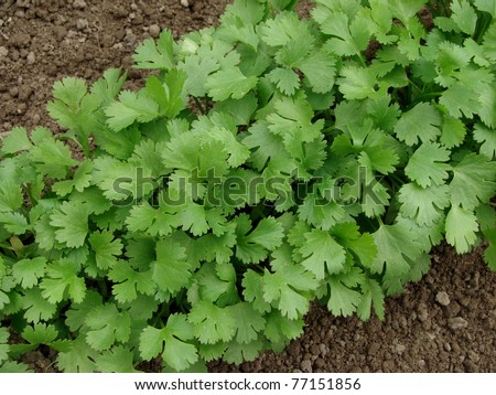 coriander growing on vegetable bed - stock photo
