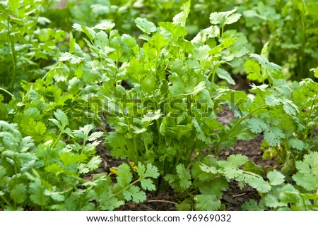 Coriander in the Garden - stock photo