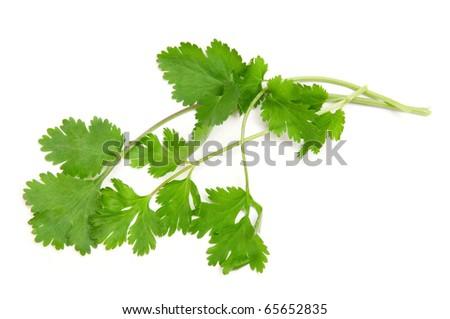 coriander isolated on a white background - stock photo