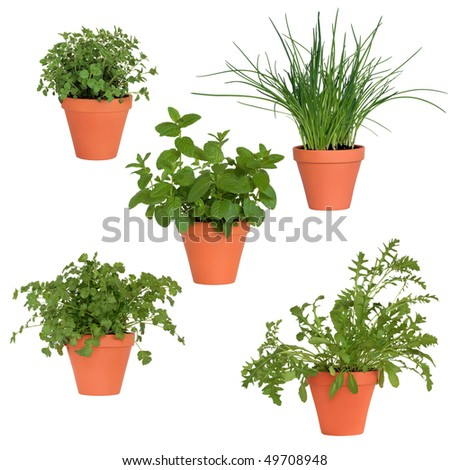 Coriander, mint, rocket, chives and marjoram herb pants growing in terracotta pots, isolated over white  background.