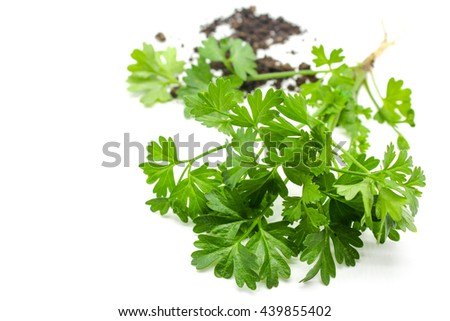 coriander plant out of pot on isolate white background