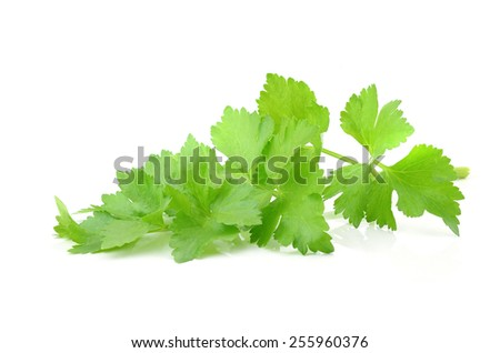 Coriander sprig isolated on white - stock photo