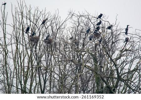 Cormorant - stock photo