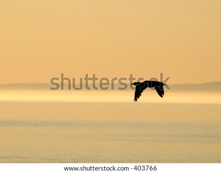 cormorant  flying over St Lawrence river, Quebec, Canada in early morning