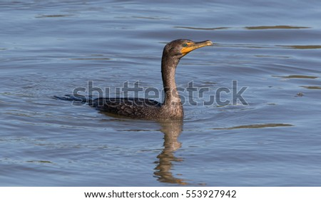 Cormorant in afternoon light on water