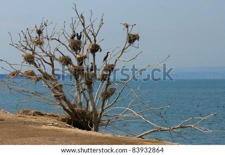 cormorant nests in a tree, lake Ontario, Canada - stock photo