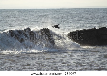 Cormorant taking off - stock photo