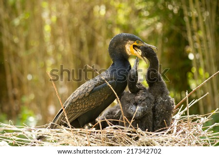 cormorant with chicks - stock photo